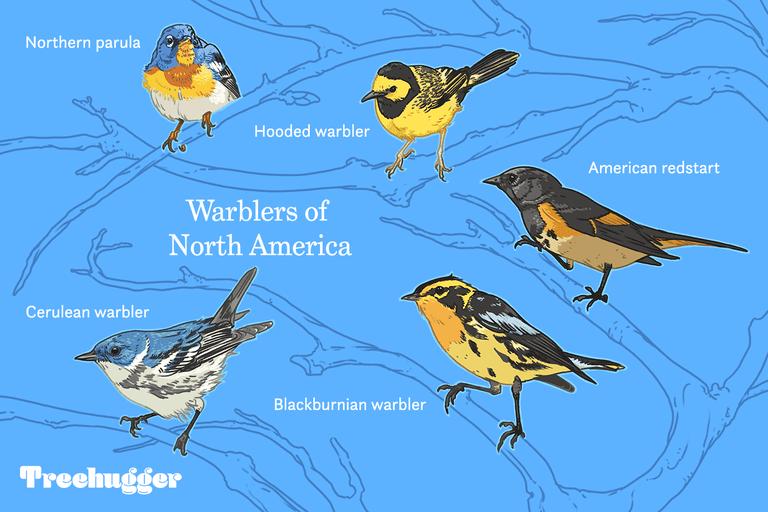 Warblers of North America illustration