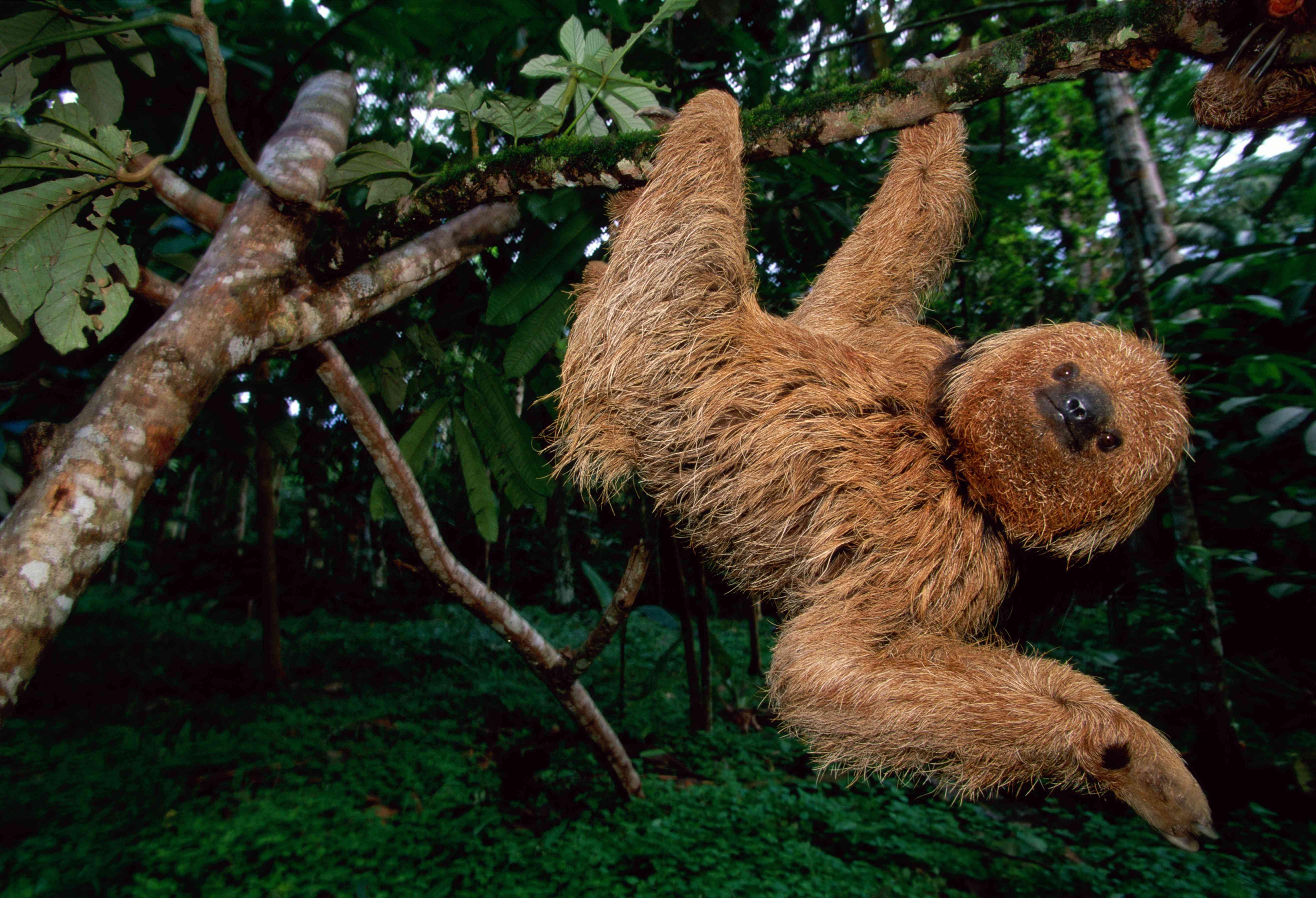 Maned sloth (Bradypus torquatus) hanging in tree, Brazil, low angle