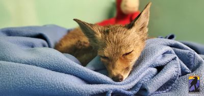 fox sleeping after rescue