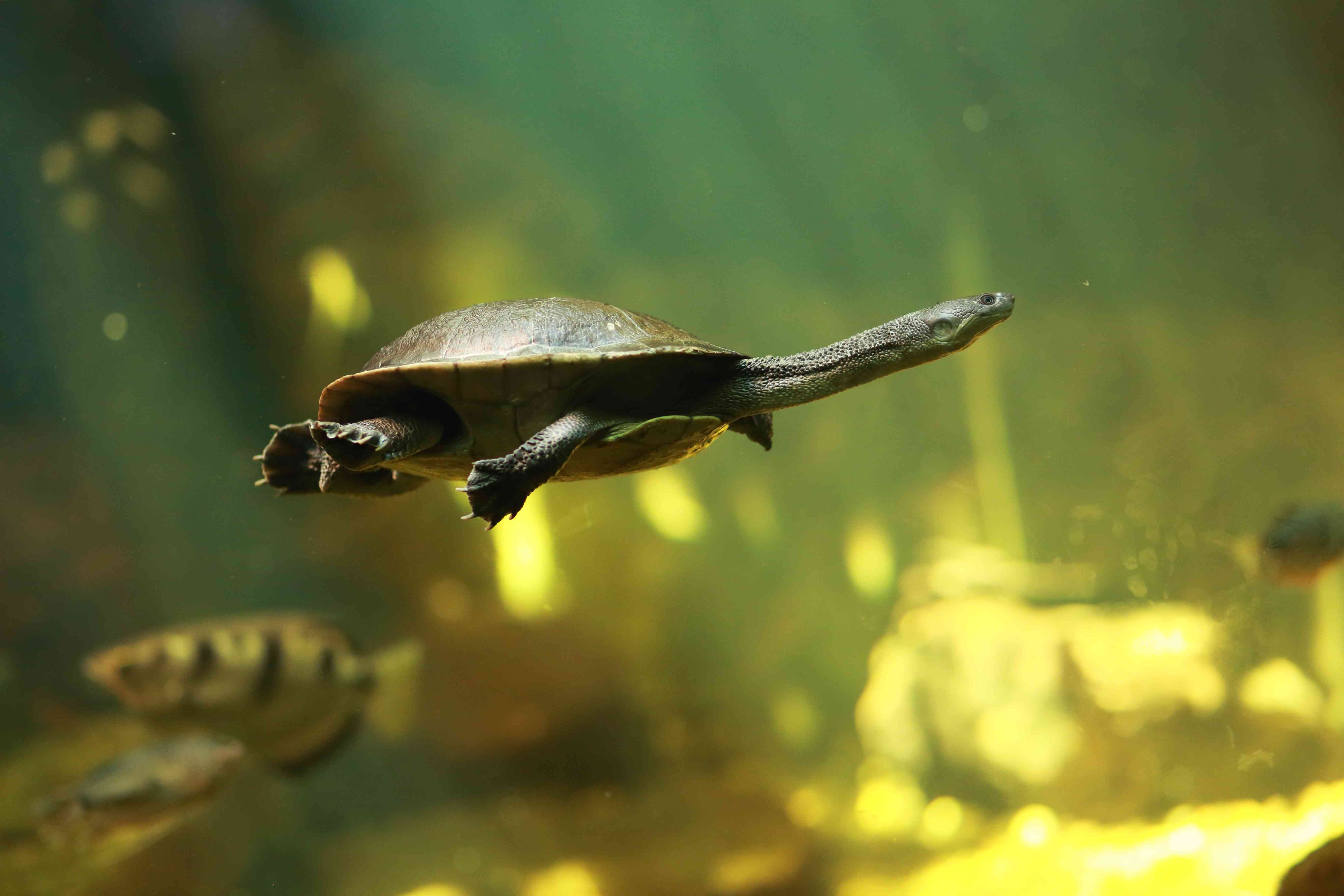 Roti Island snake-necked turtle under water
