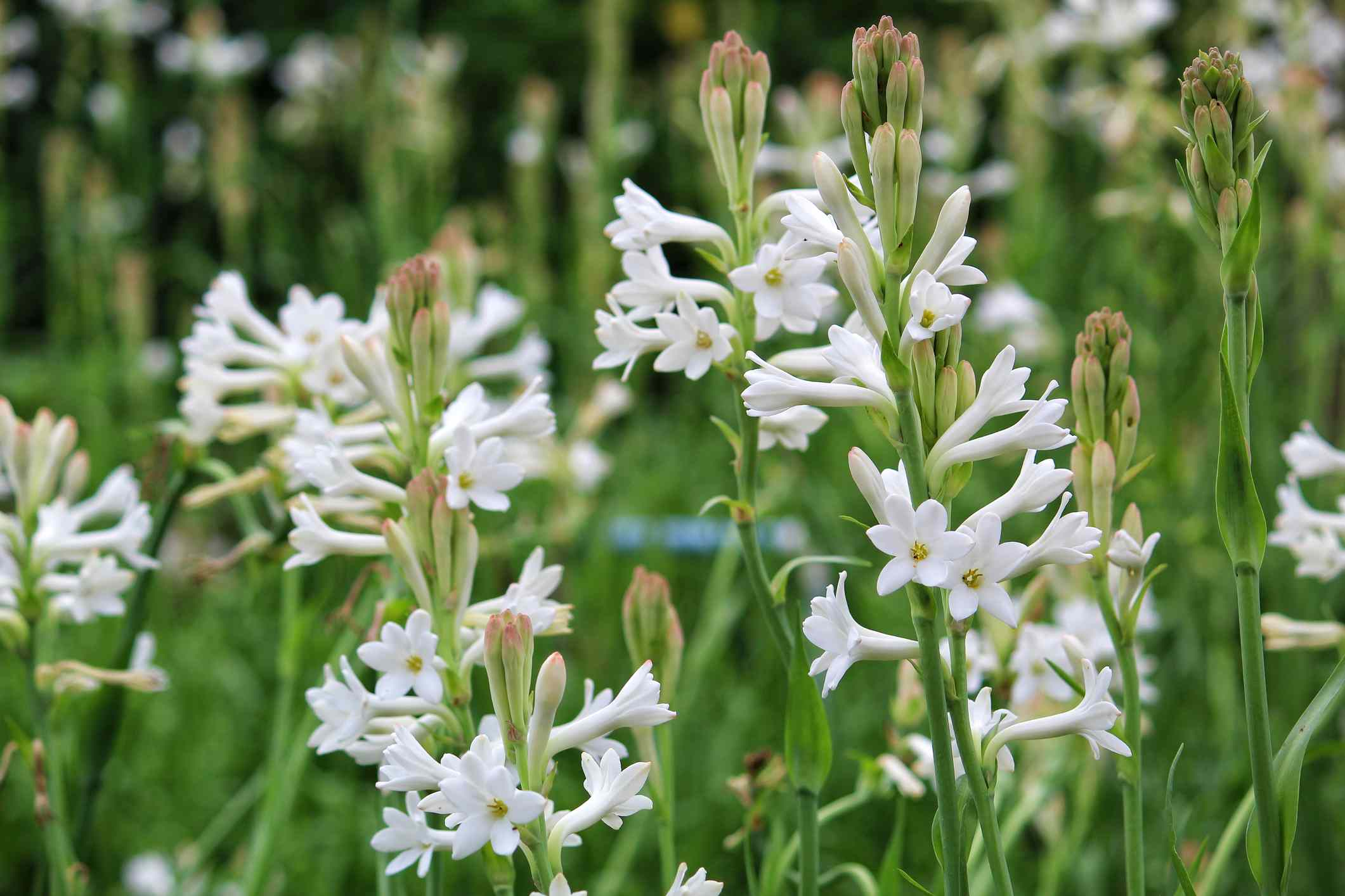 white tuberose flowers with green stems blooming in a field