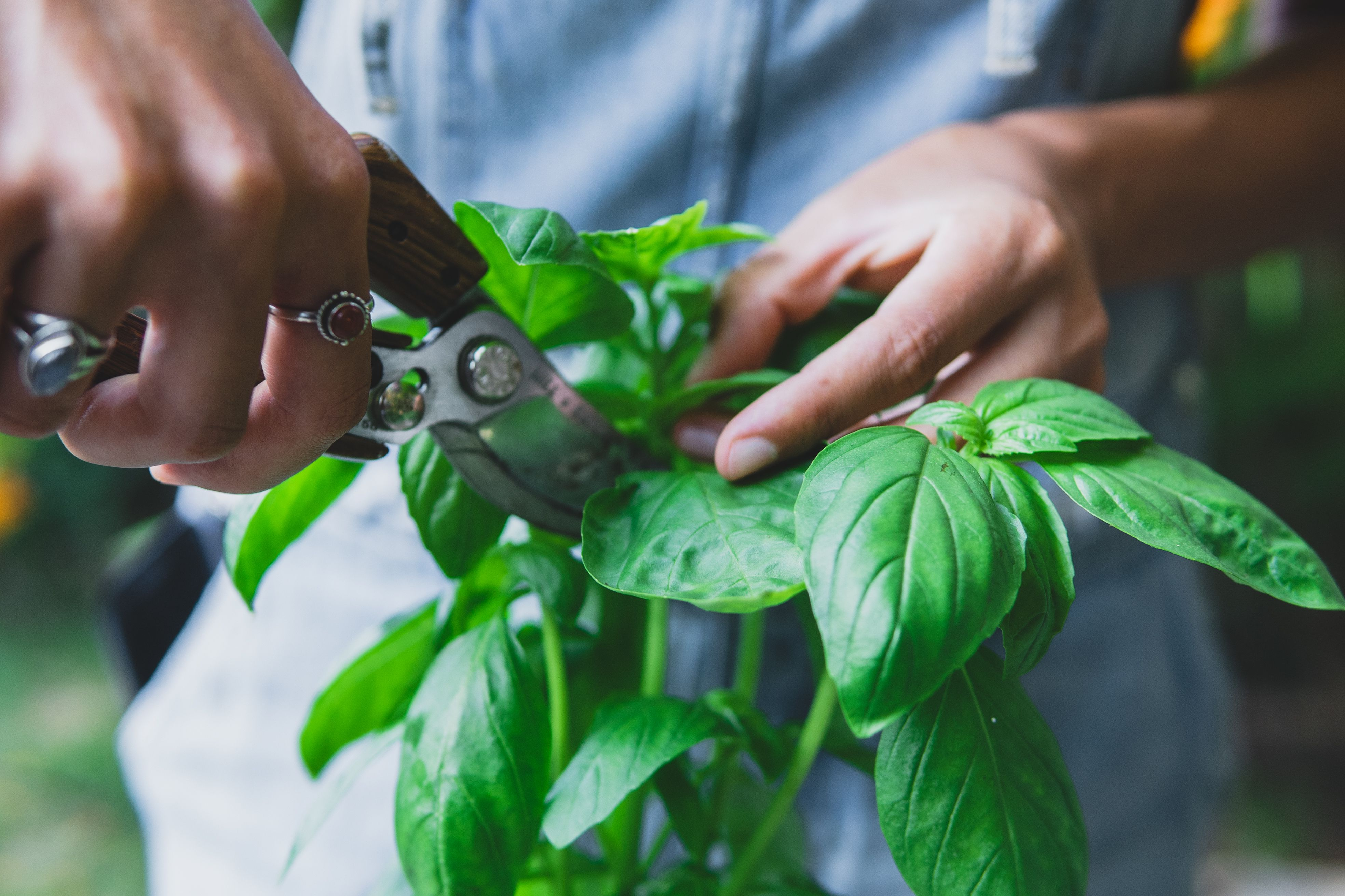 How To Harvest Basil for Great Flavor While Helping the Plant Thrive