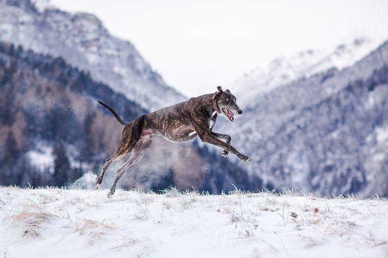 ¿Cuál es el perro más rápido del mundo?