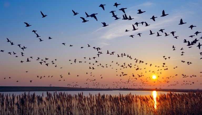 A flock of barnacle geese fly8ing over the sea at sunset with blue and orange sky
