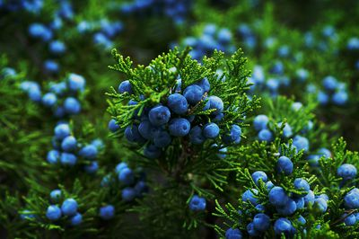 Detail shot of a Juniper with blue berries in fall.