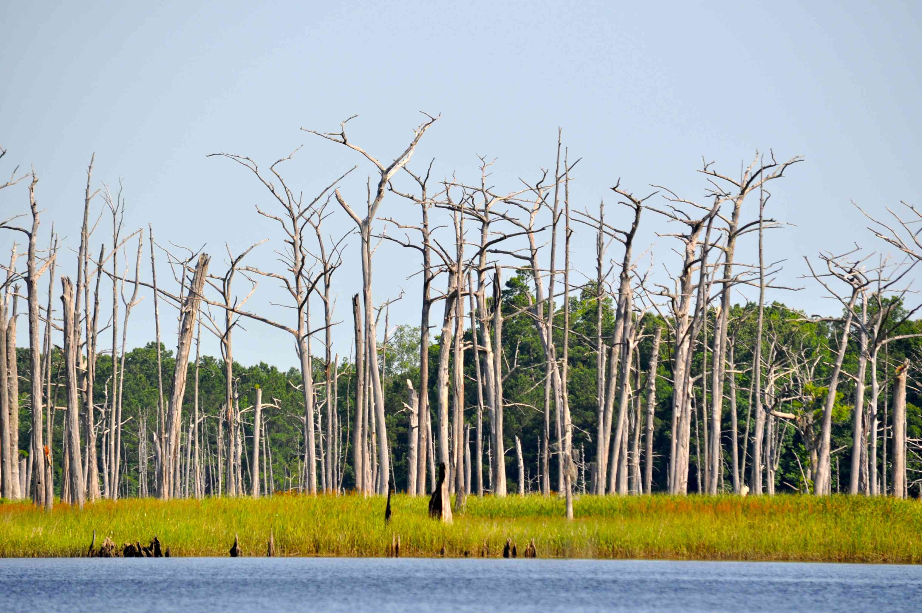 dead cypress trees stand like gray ghosts along a river