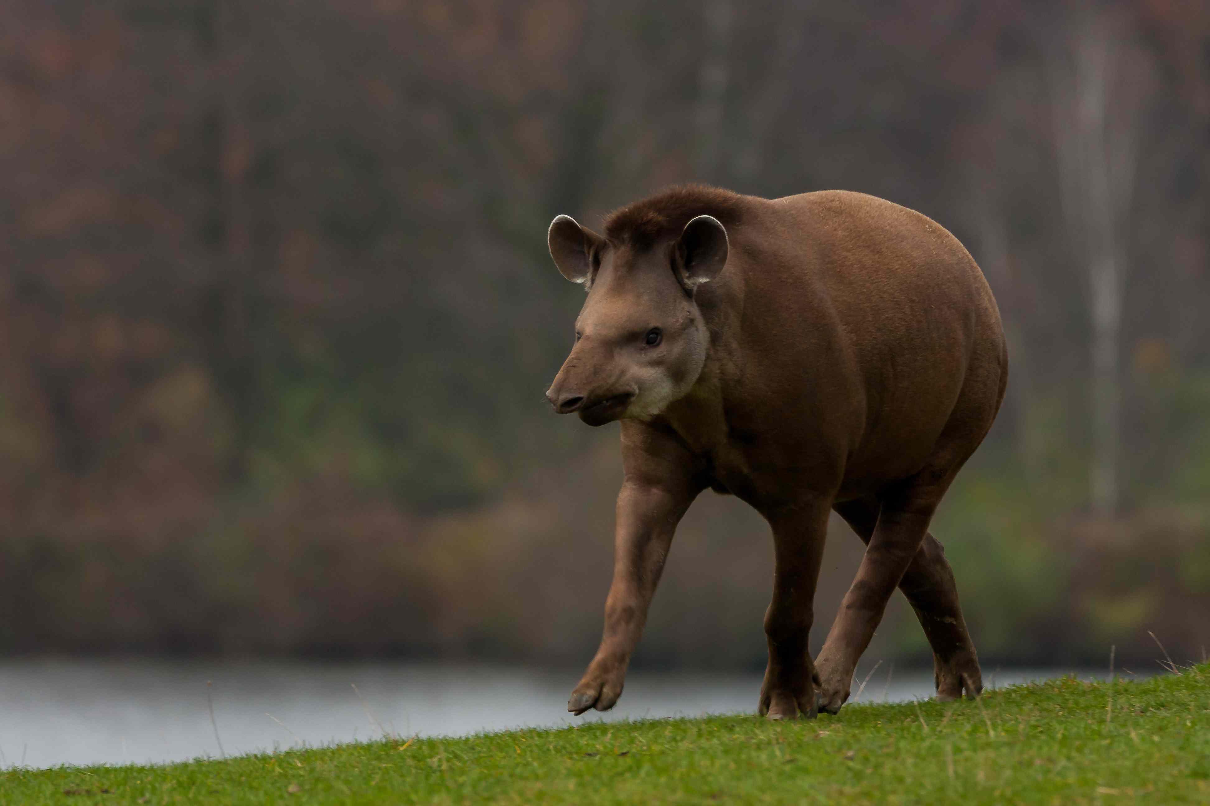 A tapir trots through grass near water