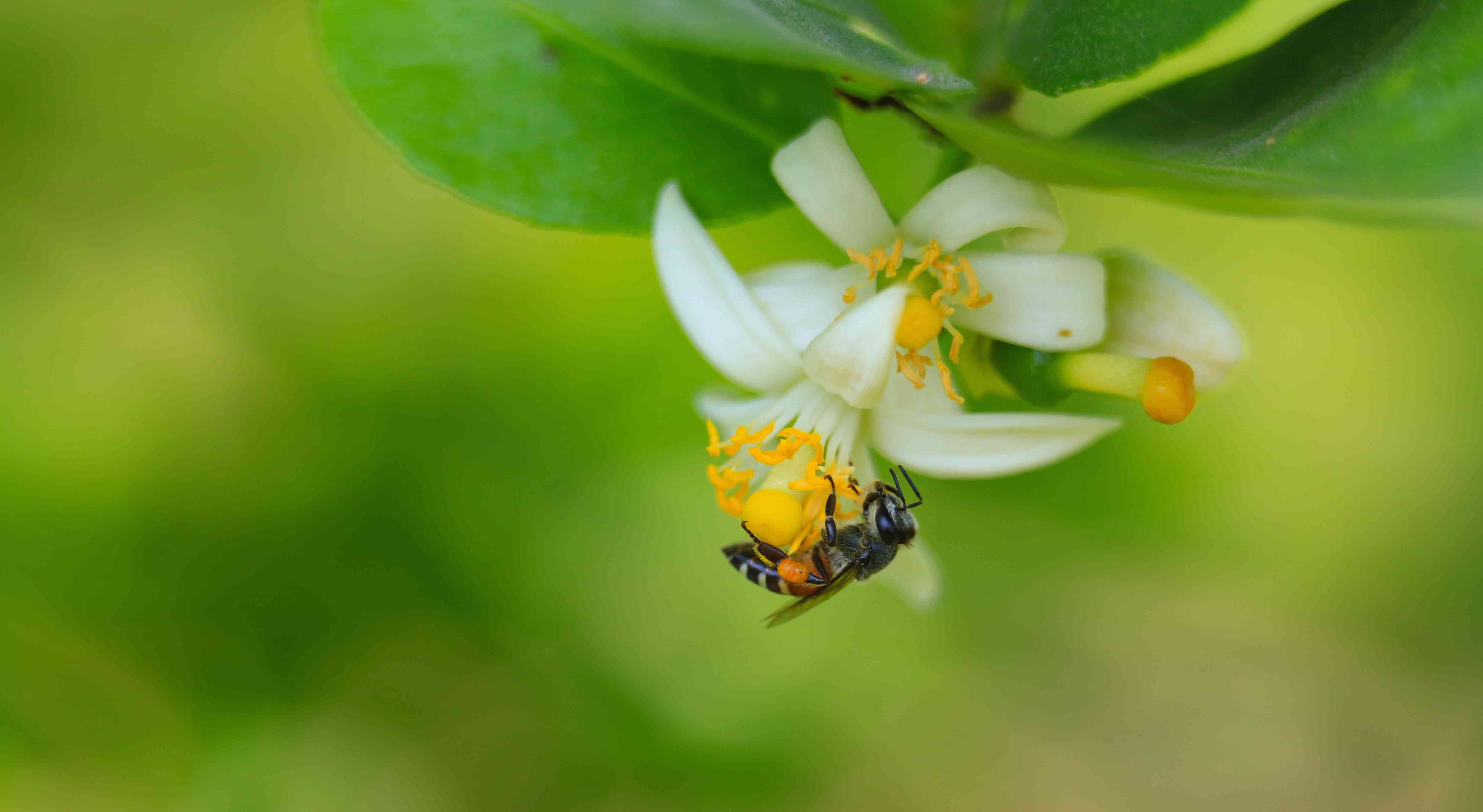 bee pollinating lime flower