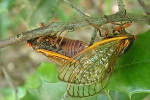 cicadas mating in Georgia
