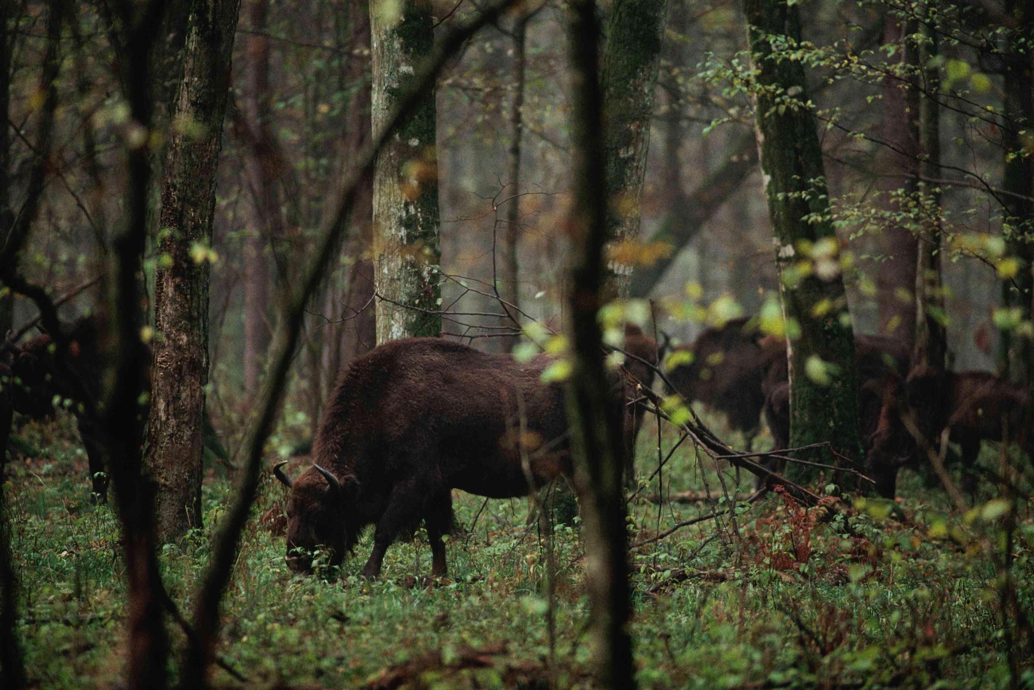 multiple dark brown European bison grazing, viewed through trees