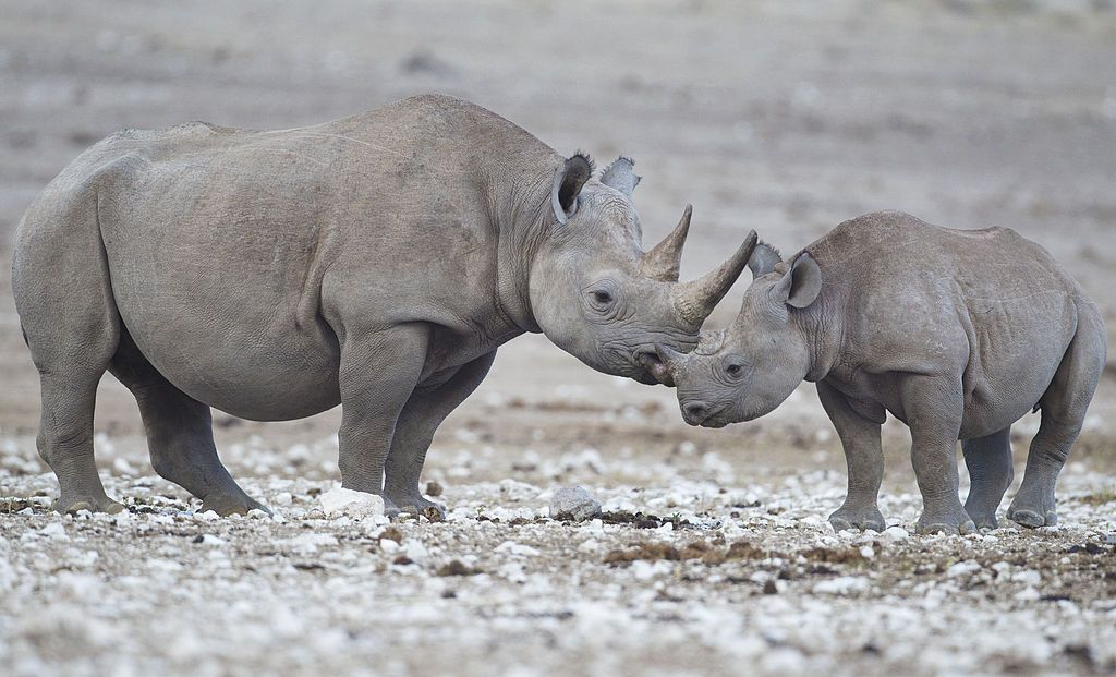 A black rhinoceros mother and calf visit a watering hole in the Etosha National Park in Namibia.