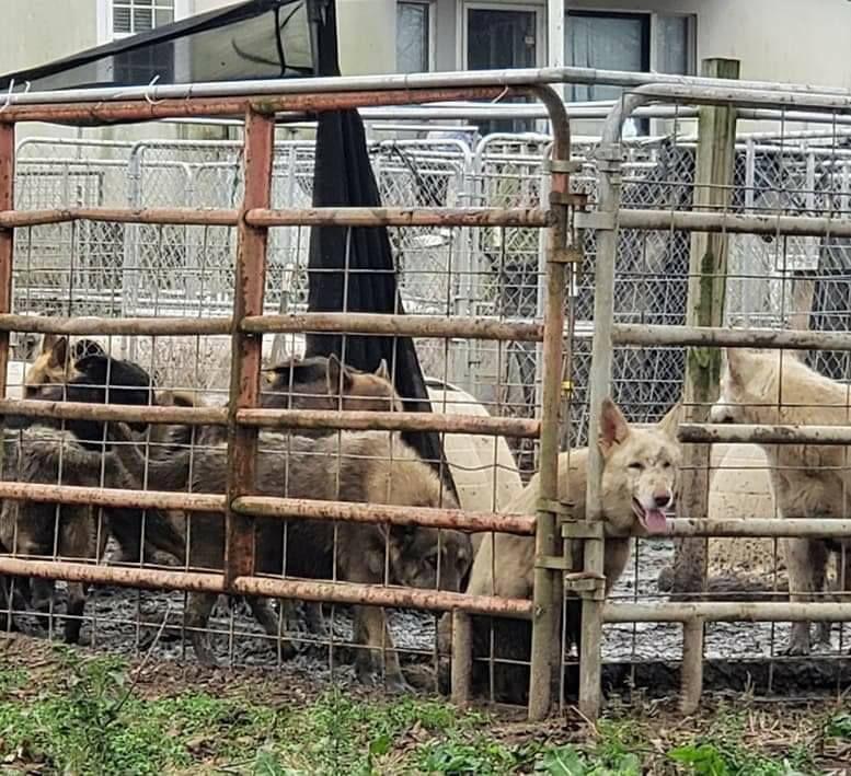 German shepherds rescued in Georgia