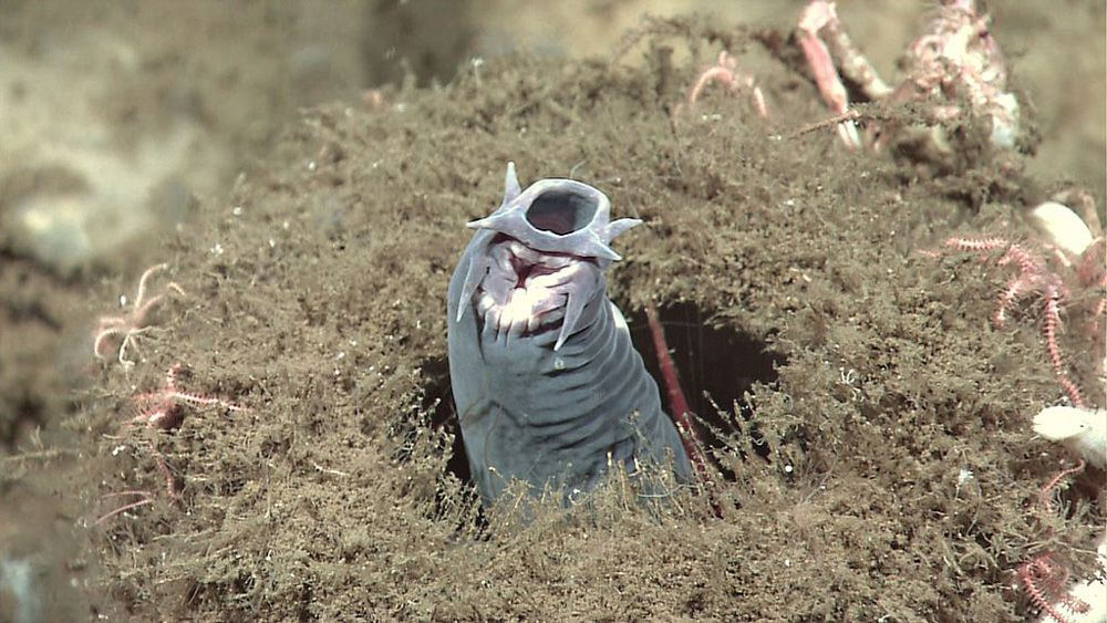 A gray hagfish with its snout protruding from a sponge