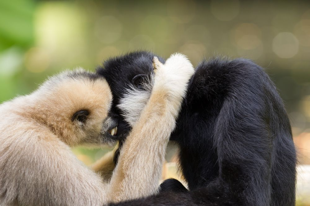Pair of gibbons