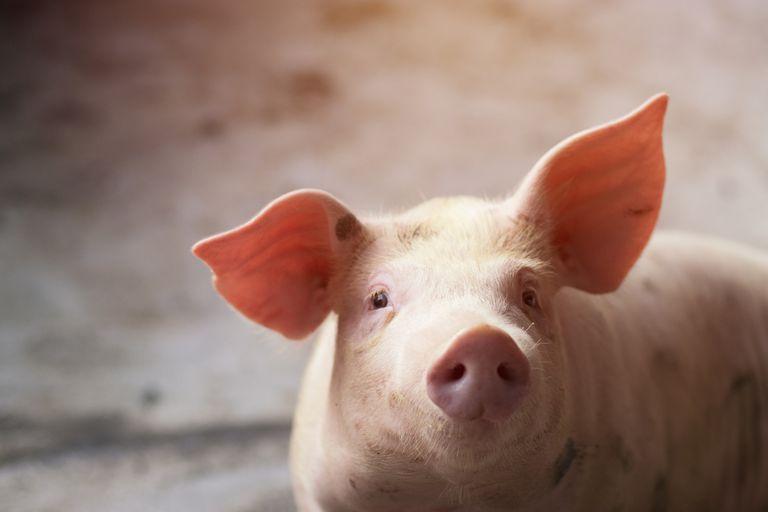 Por qué deberíamos dejar de llamar a los humanos 'perros' y 'cerdos'