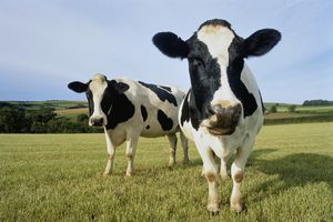 Two Holstein-Friesian cows in field, England