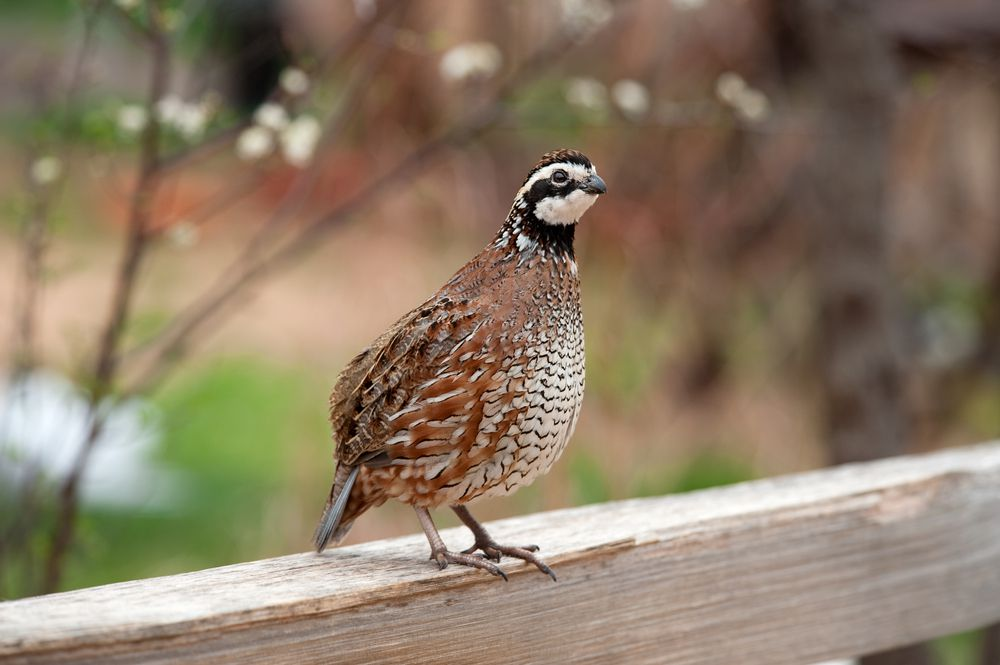 This little quail loves to say its own name.