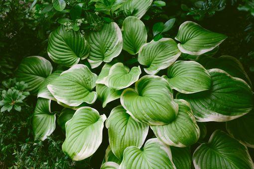 Hostas growing in shade