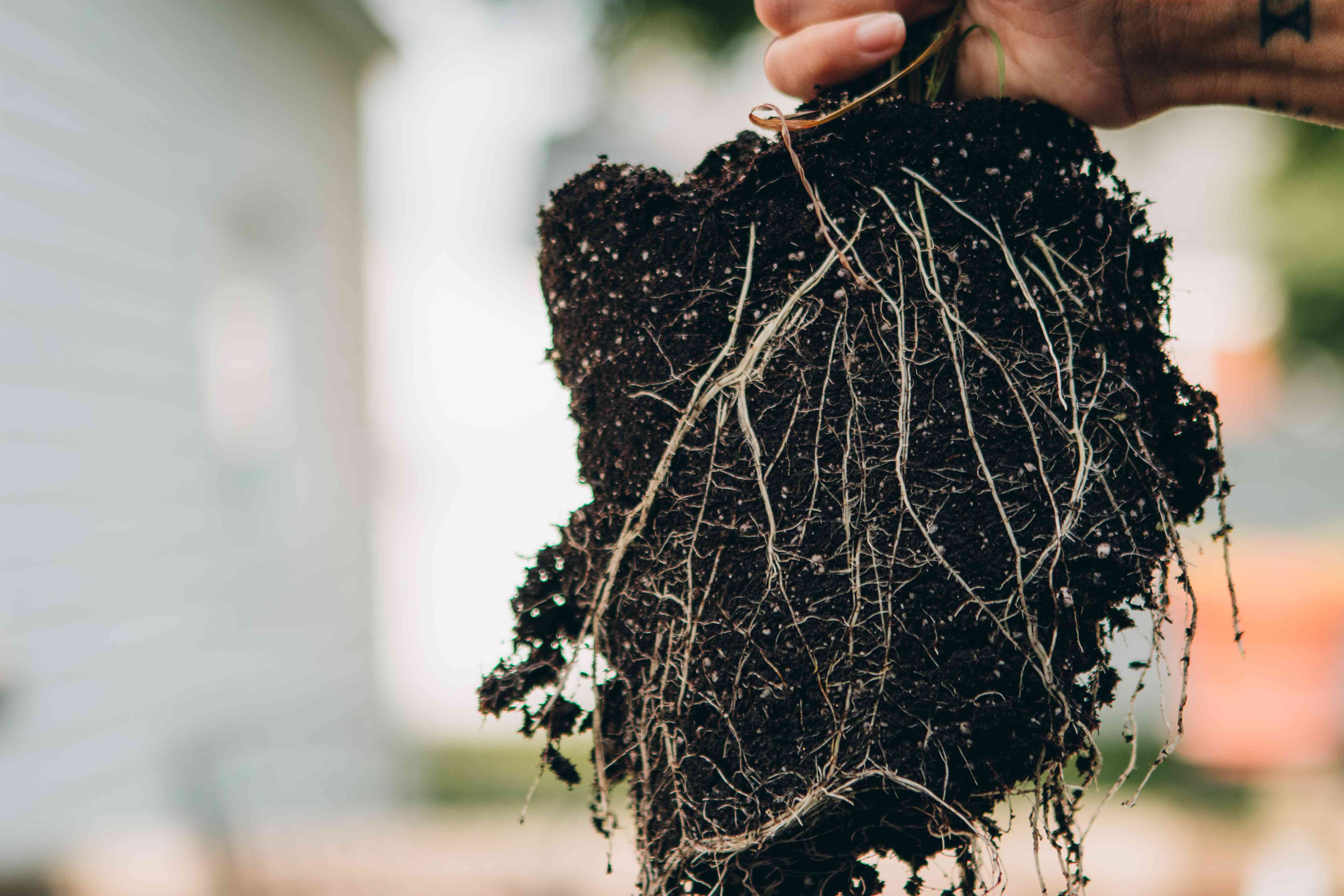 hands hold a cutting of lemongrass with exposed roots and black soil hanging in air