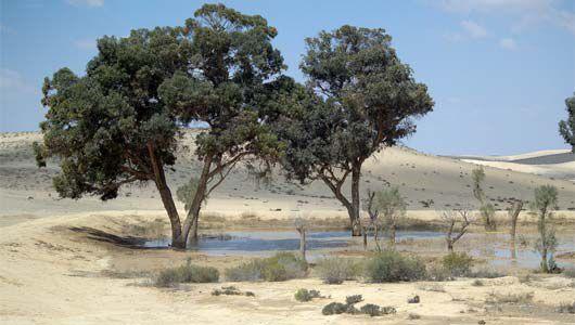 Blueprint Negev trees