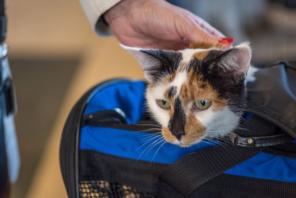 cat in soft carrier