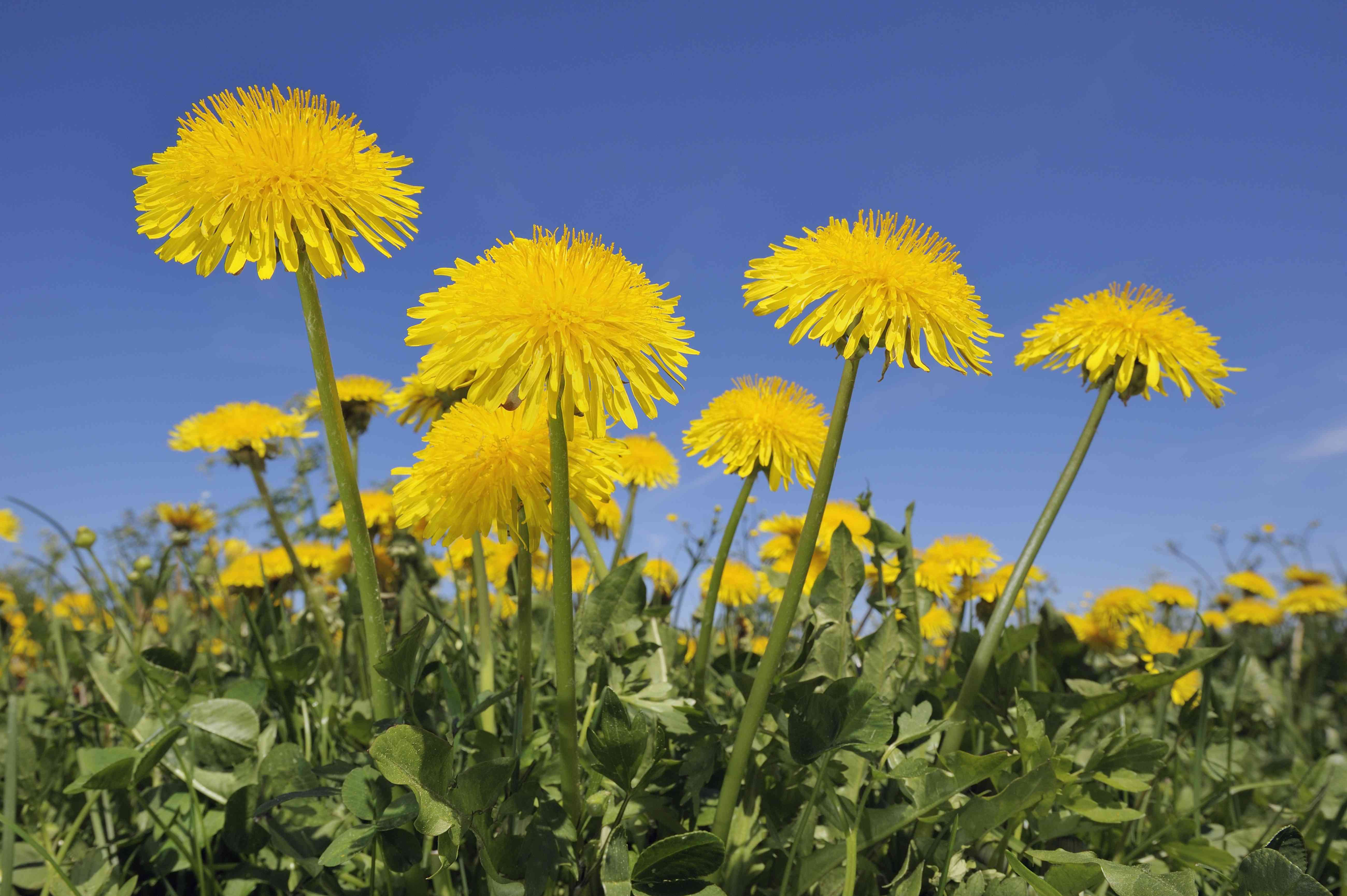Low-angle view of dandelion meadow against blue sky
