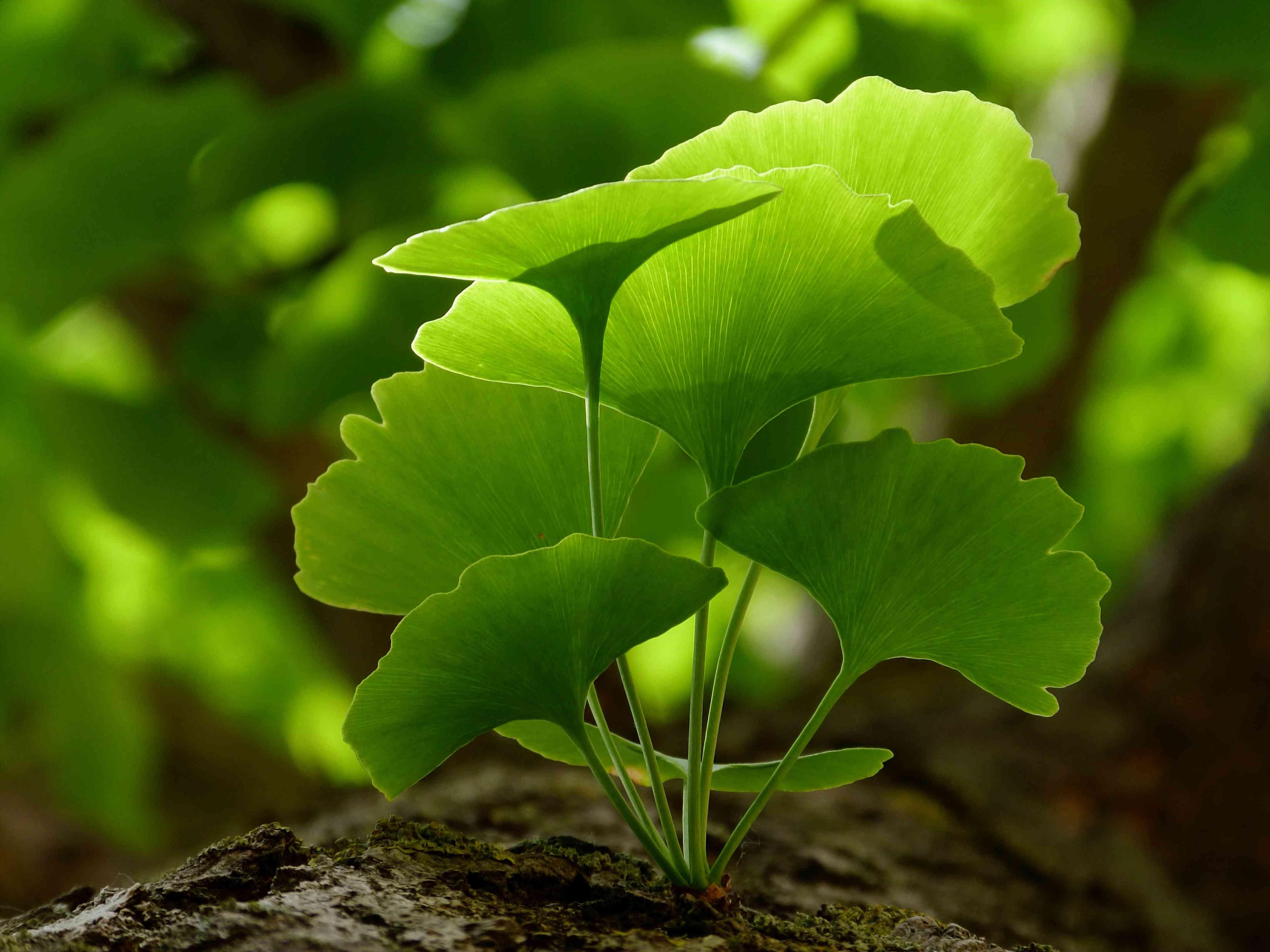 closeup of leaves on a ginkgo biloba tree