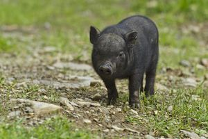 Vietnamese potbelly pig (Sus scrofa f. domestica), piglet, captive, Austria