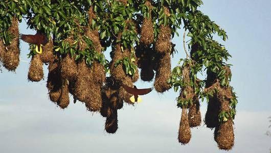 Montezuma's oropendola nest