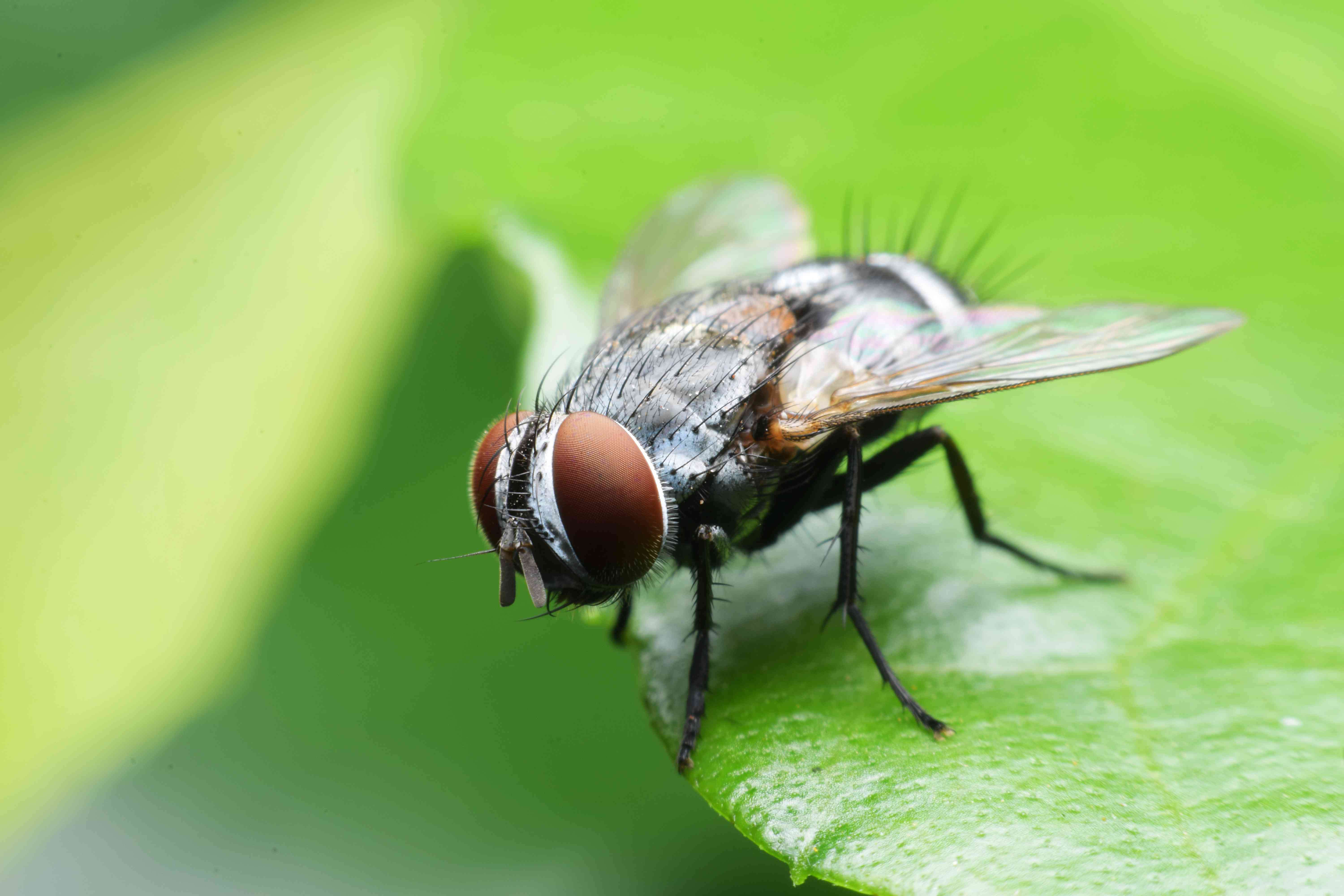 Flies are important pollinators, as are their larvae.