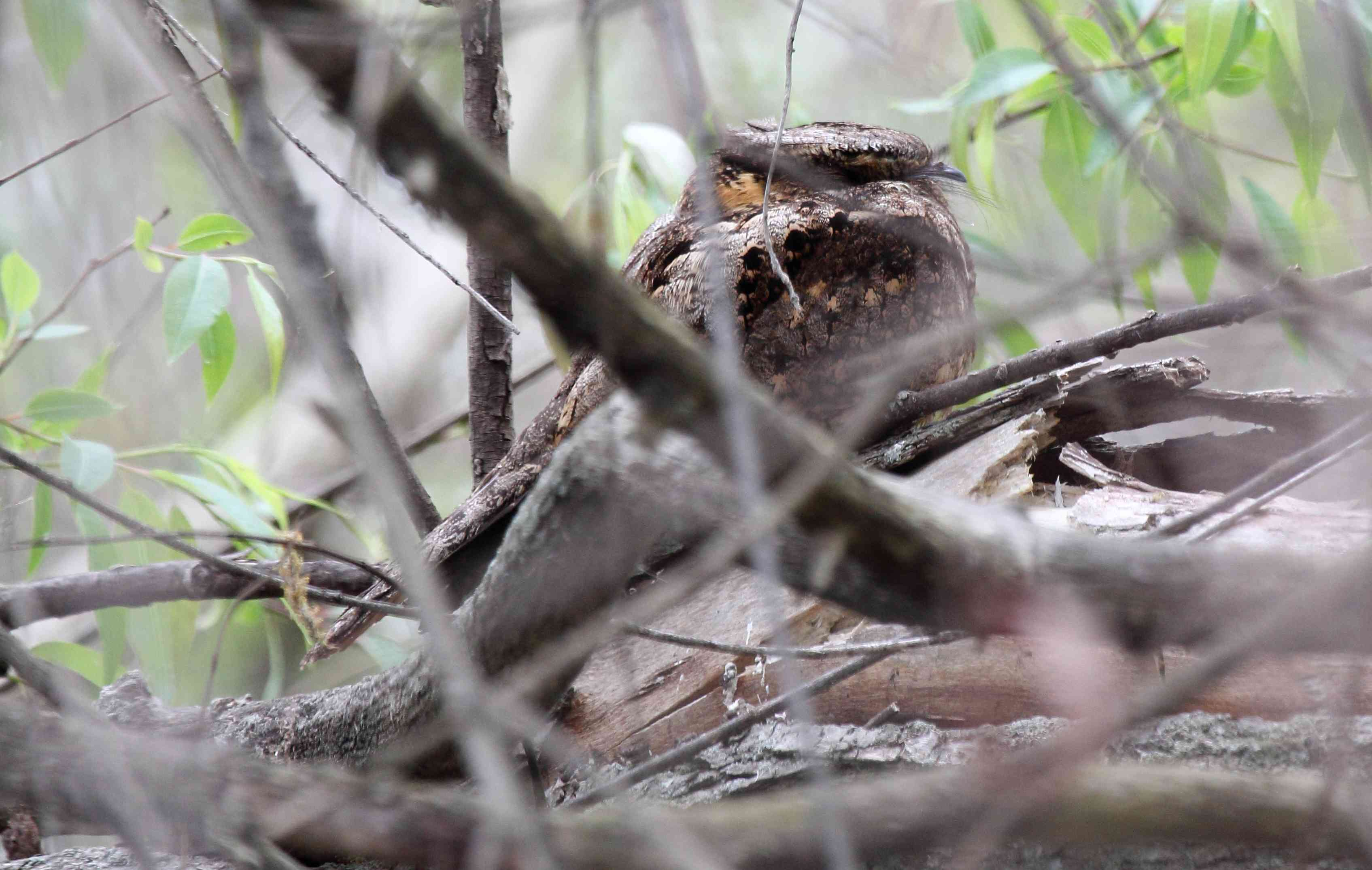 Eastern whip-poor-will perched among low branches