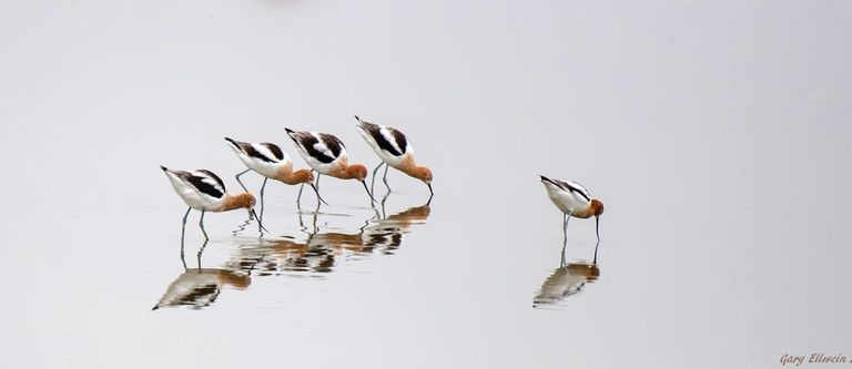 Five long-legged waders in the shallow water