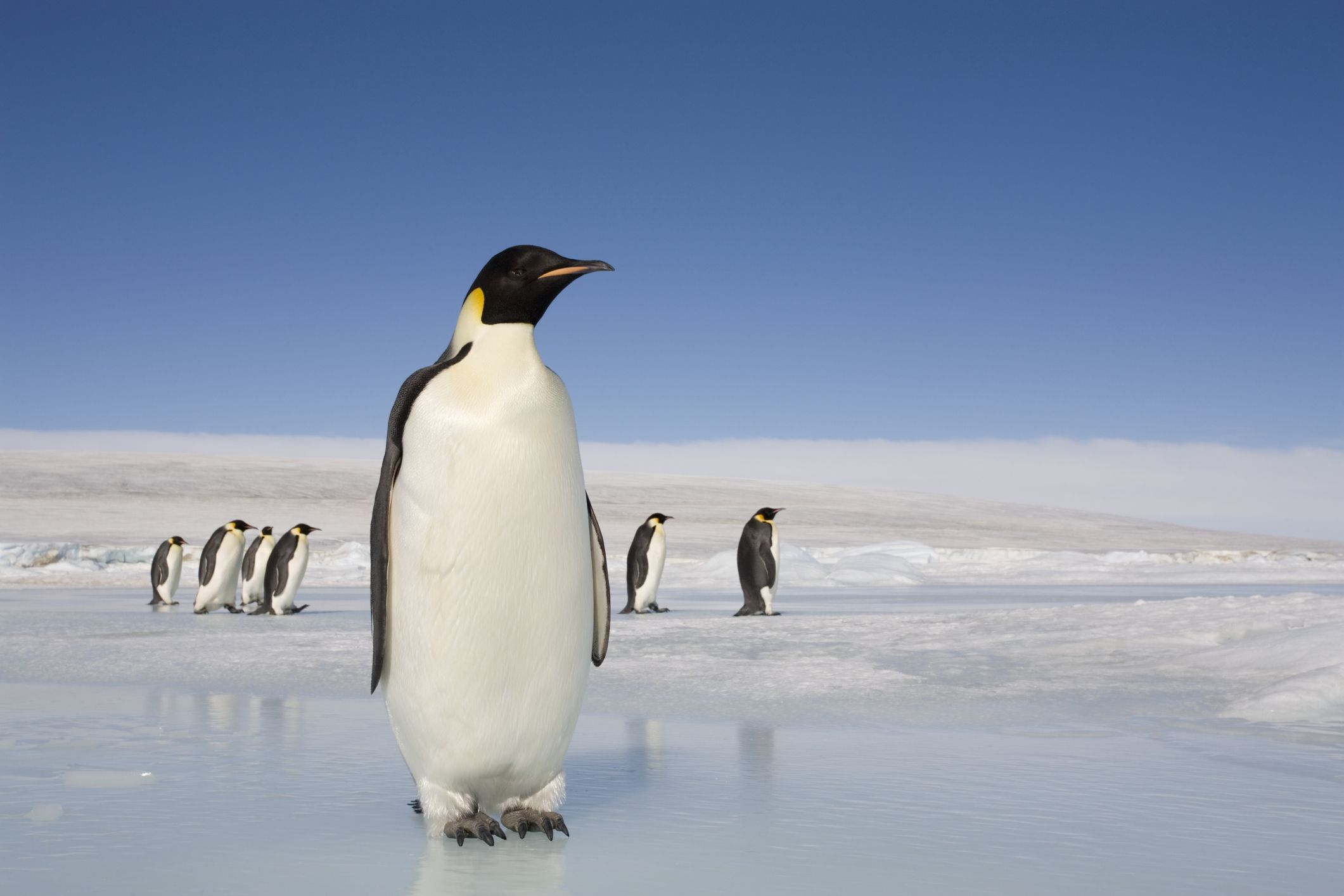 Emperor penguins on ice in Antarctica.