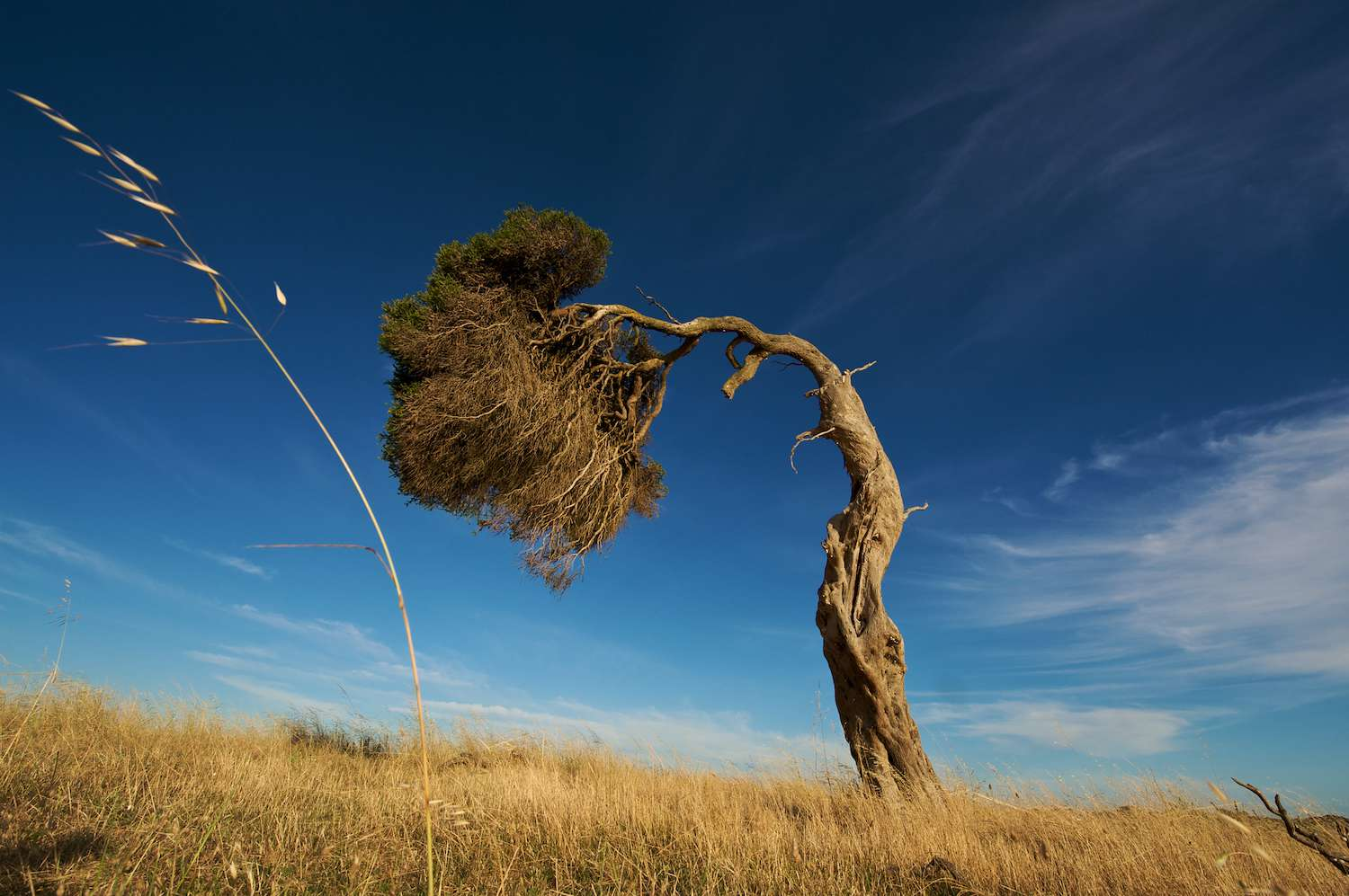 A tree bent by the wind stands in a field of grass underneath a blue sky.
