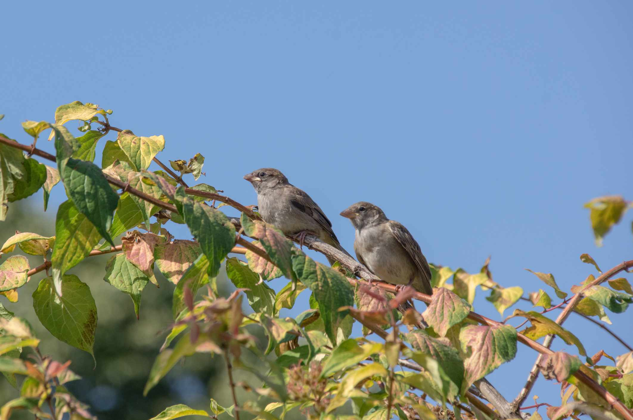 Two house sparrows on a branch with green and pink leaves with a clear blue sky behind them