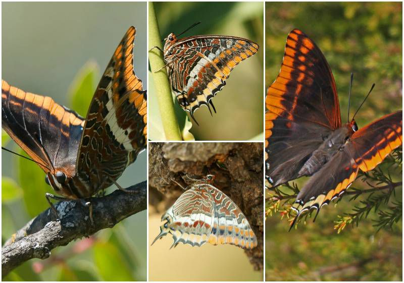 Pasha butterfly collage
