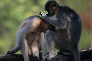 Two golden langurs grooming on branch, India, close-up