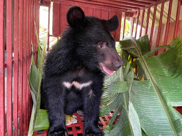 rescued moon bear cub