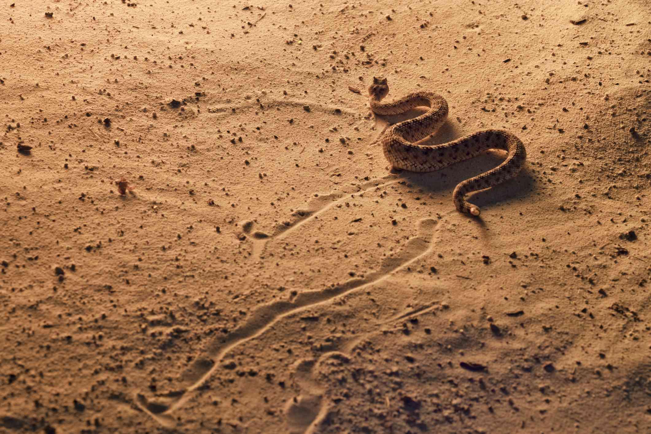 Sidewinder Rattlesnake in Southern Arizona