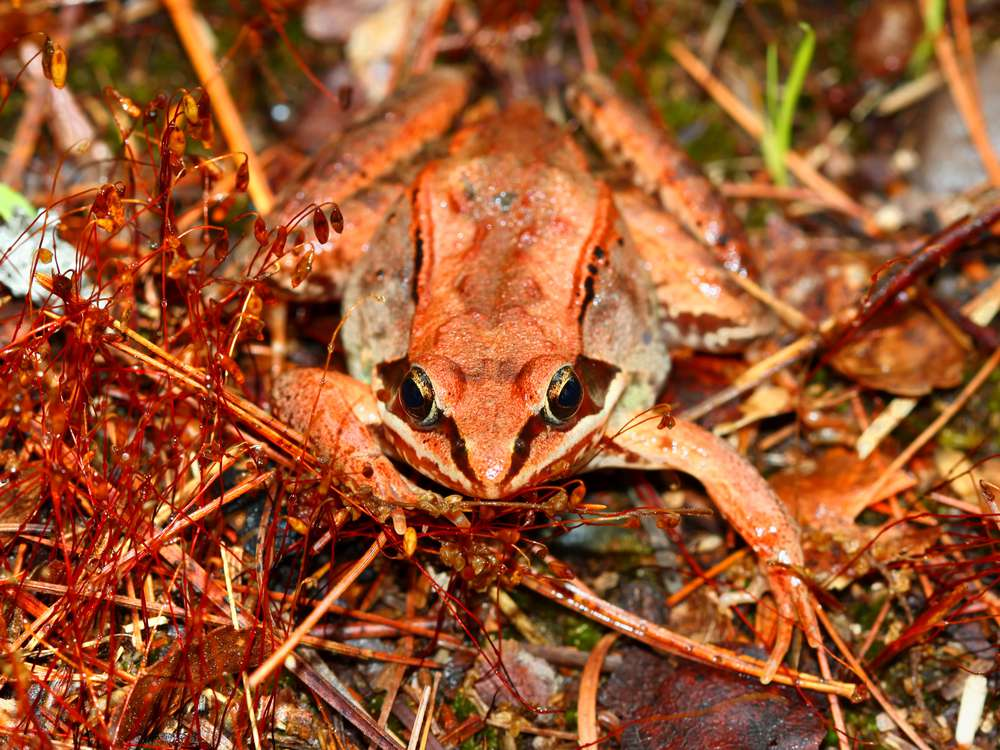 A brown frog blends in with pine needles on the forest floor
