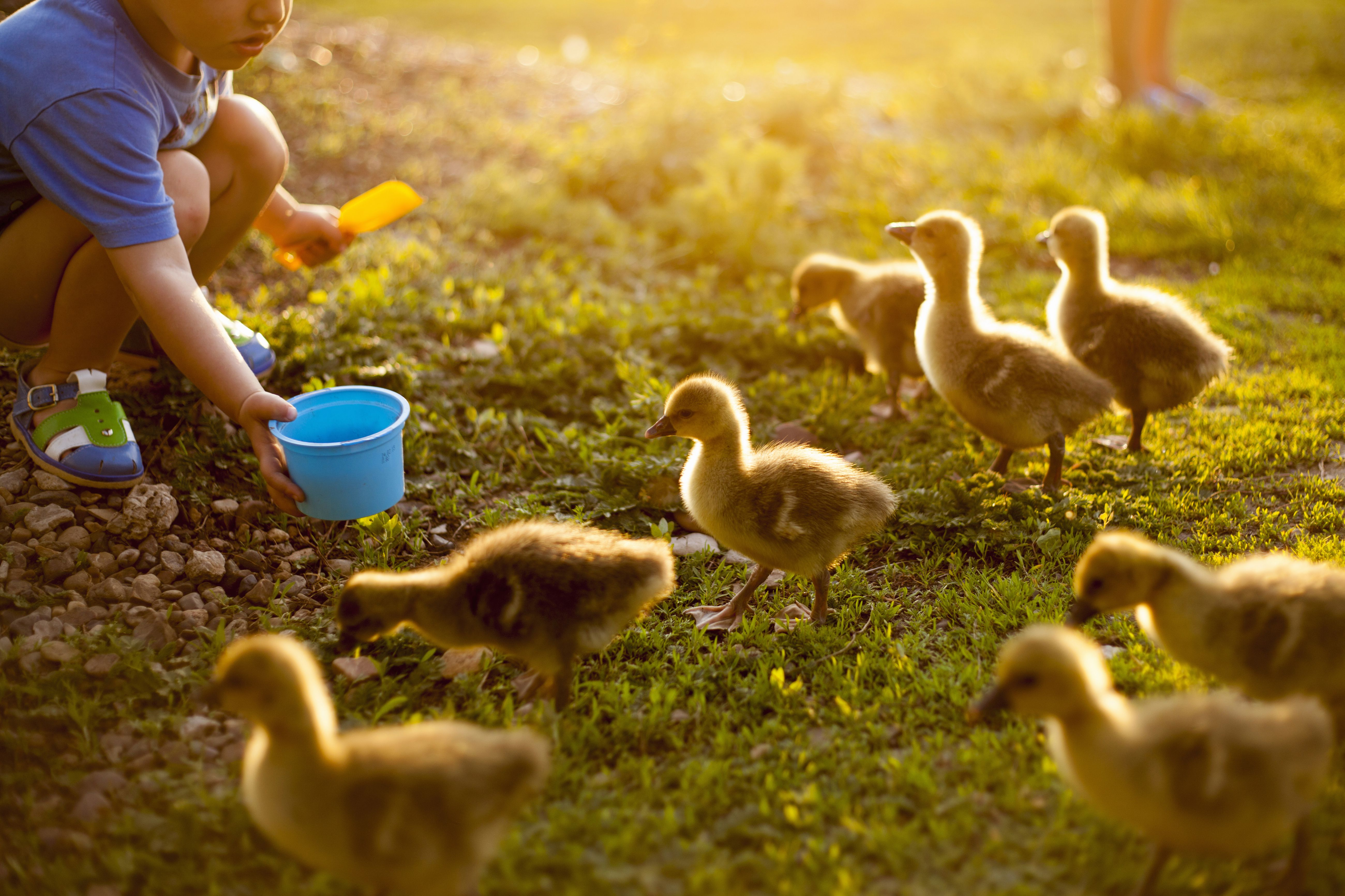 A child feeding ducks on a farm