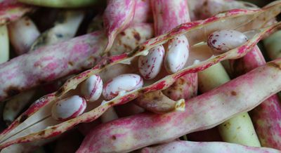 Harvested Speckled Pinto Beans