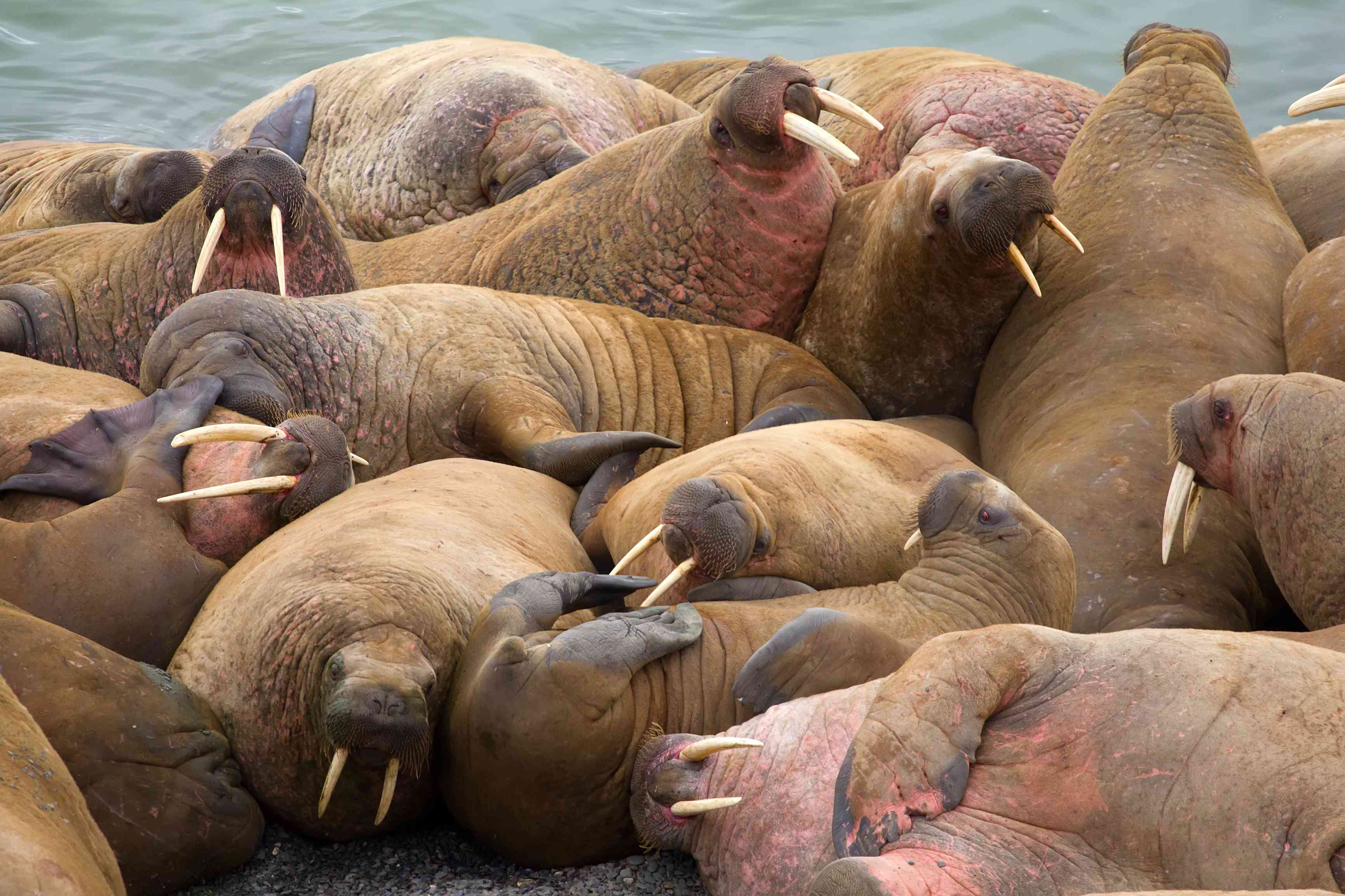 A crowd of walruses on an Alaskan beach