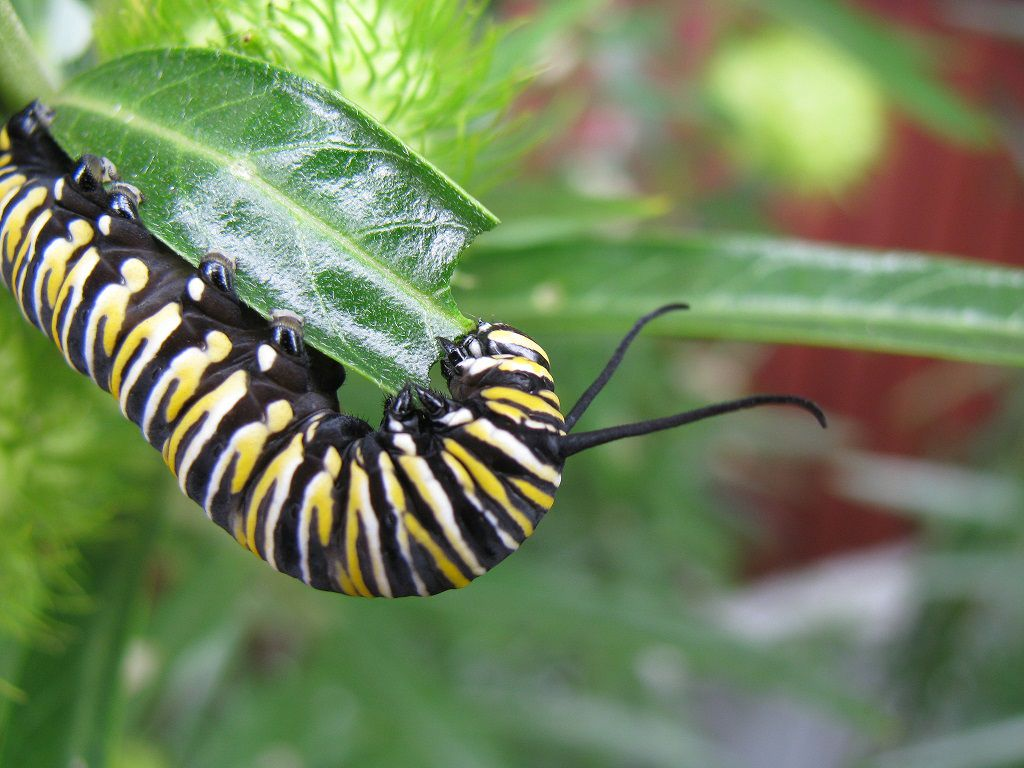 A yellow, white, and black monarch butterfly caterpillar eating a milkweed