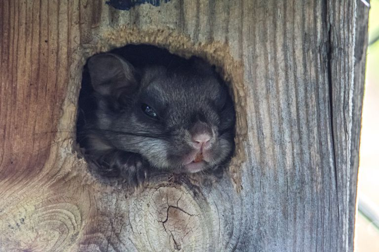 A flying squirrels burrowed in a tree