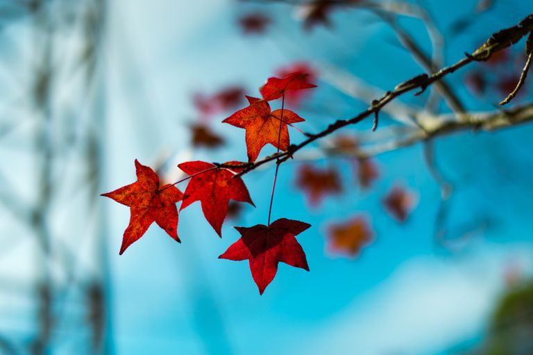 maple leaf and blue sky