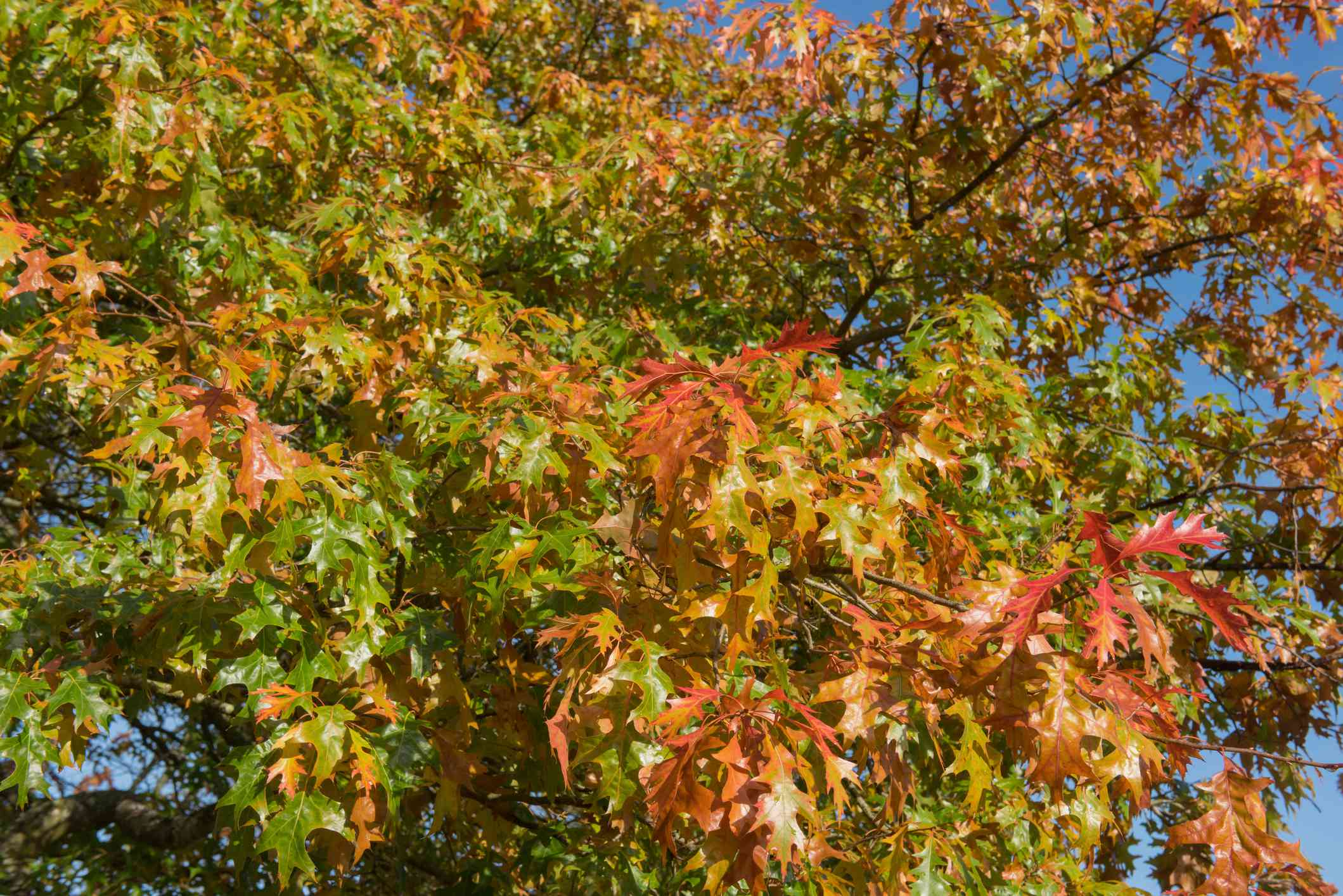 Leaves of a Pin Oak tree changing color.