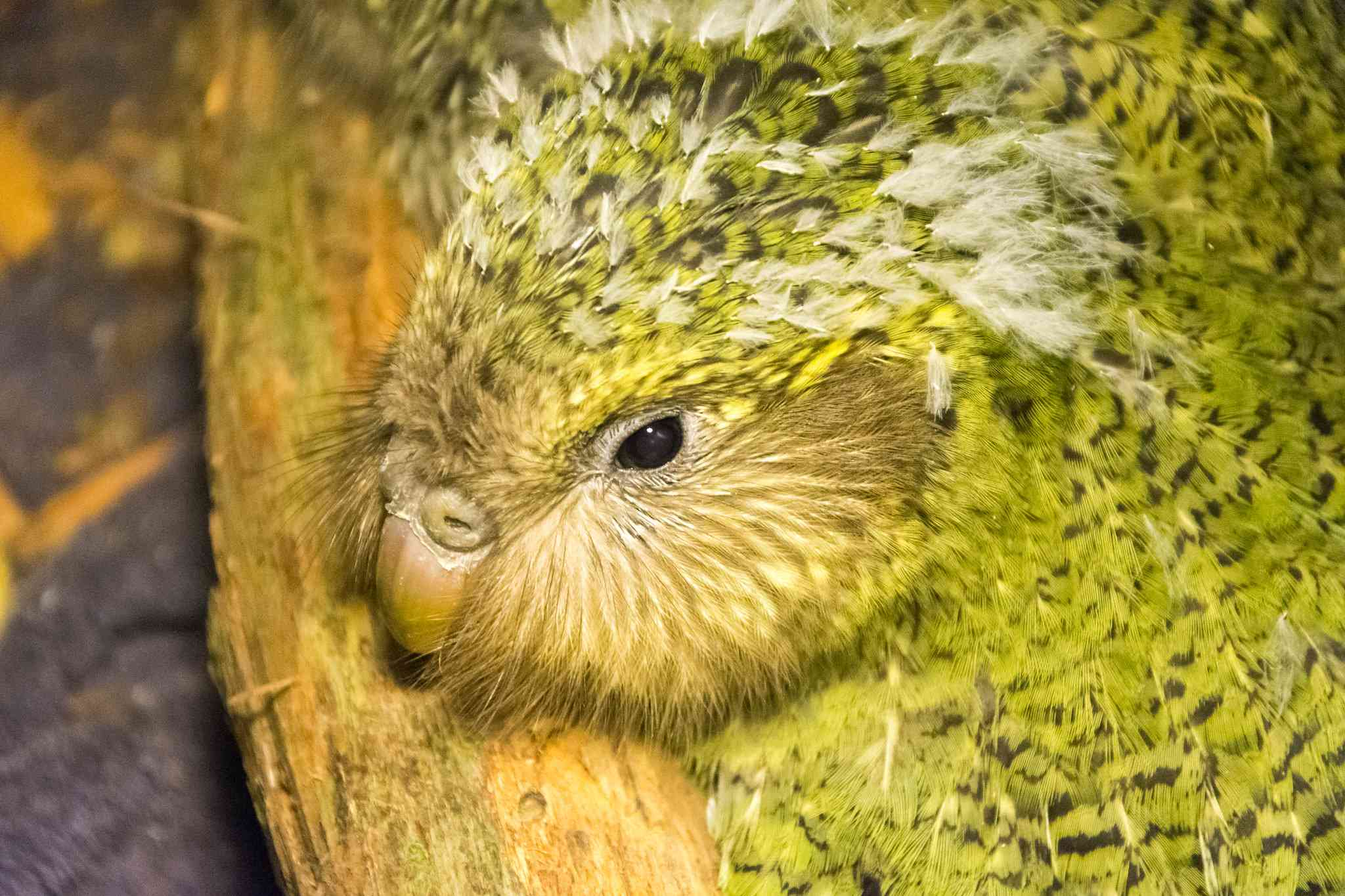 A Kakapo chick with fluffy white feathers.