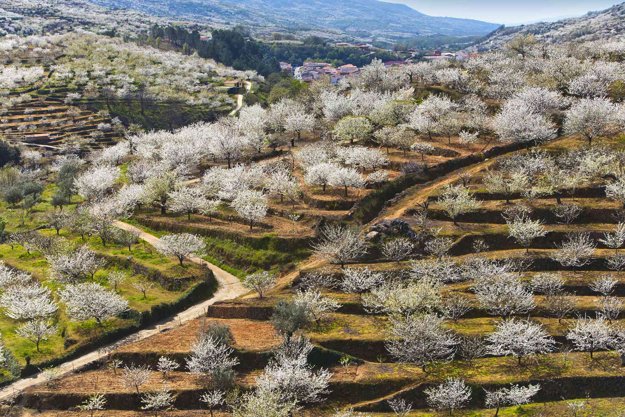 White cherry blossom trees blooming in a terraced garden carved into the mountains in Jerte Valley