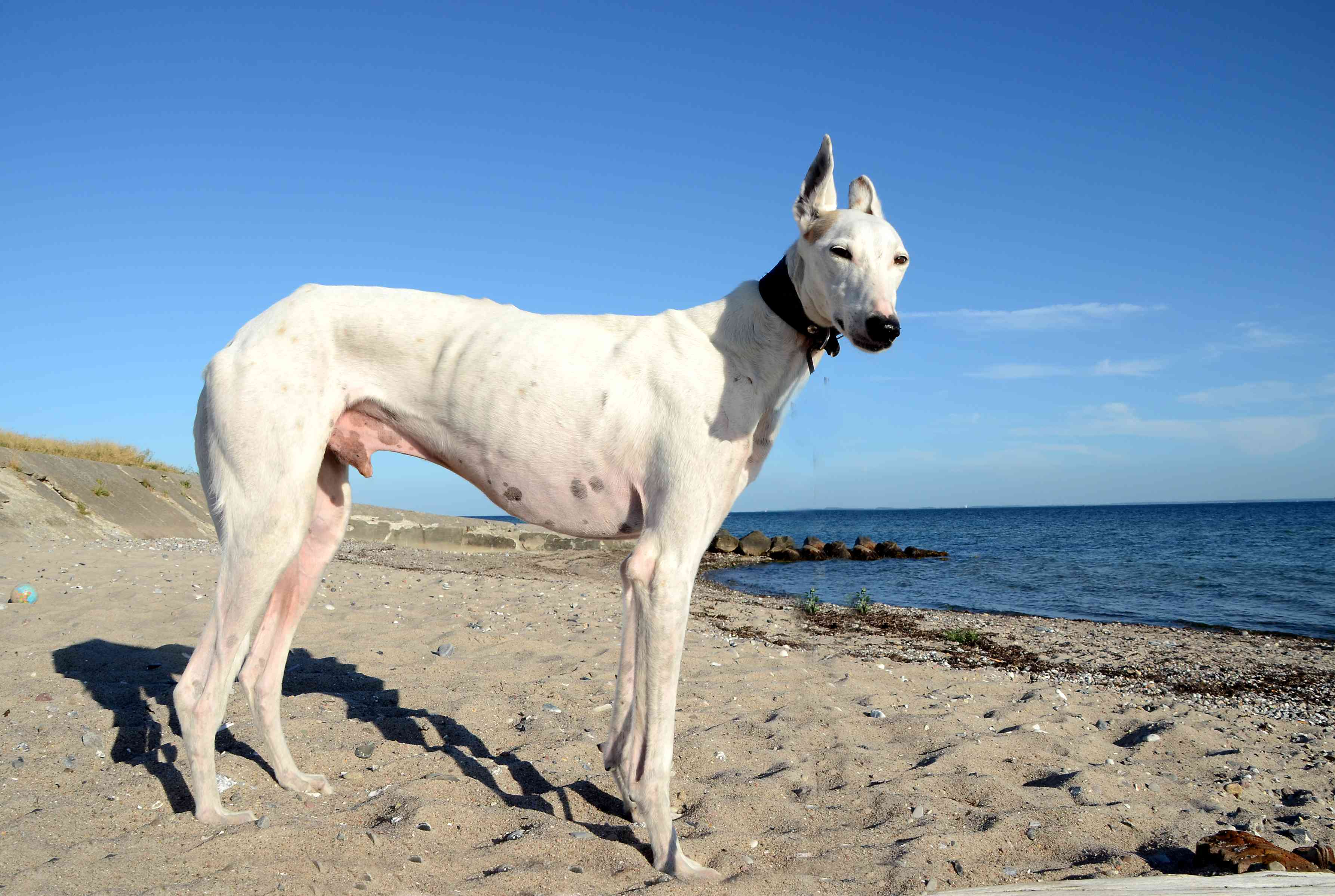 A white podenco standing on the beach